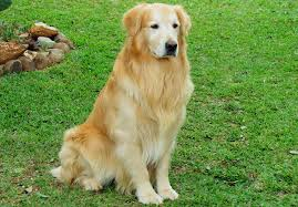Casetas para perros medianos - Golden retriever
